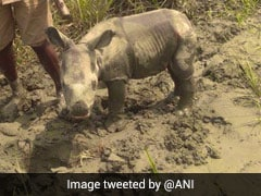 Newborn Rhino Rescued In Assam's Flood-Hit Kaziranga