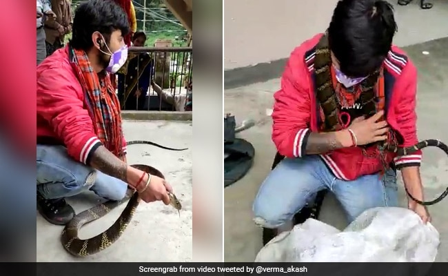 Huge King Cobra Captured From Nainital House. Video Is Terrifying