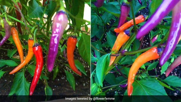 Twitter User's Homegrown Peppers In Vibrant Hues Amaze The Internet - See Viral Pics