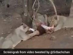 शेर का झुंड मांस खाते-खाते करने लगा लोगों पर हमला, Video पोस्ट कर अमिताभ बच्चन बोले- यह मैंने खुद देखा...