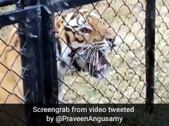 पिंजरे के बाहर लोगों को देख जोर से दहाड़ा बाघ, फिर पास आकर किया कुछ ऐसा... देखें Viral Video