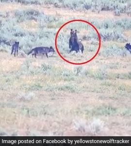 भेड़ियों ने भालू के बच्चों पर किया Attack, तो सामने खड़ी हो गई मां और फिर... देखें पूरा Video
