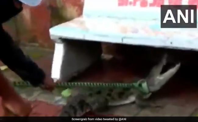 5-फुट क्रोकोडाइल गुजरात में सार्वजनिक बेंच के नीचे दुबका हुआ मिला