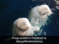 After Years In Captivity, Beluga Whales Return To The Sea