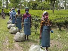 Hit By Covid Lockdown, Floods, Rain, Assam Tea Growers Eye Price Rise