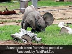 हाथी के बच्चे ने पैदा होते ही अजीबोगरीब तरह से खाई घास, Video देख हो जाएंगे हंस-हंसकर लोट-पोट