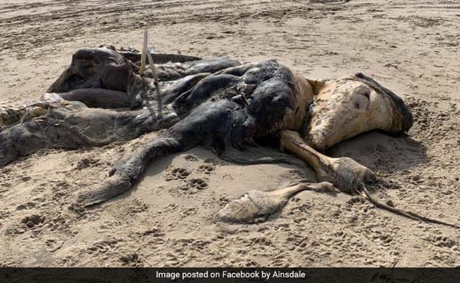 समुद्र किनारे पड़ा मिला 15 फुट लंबा रहस्यमयी जीव, सड़ी लाश देख लोगों के उड़े होश