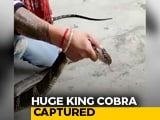 Video : On Camera, Huge King Cobra Captured From Nainital House | NDTV Beeps