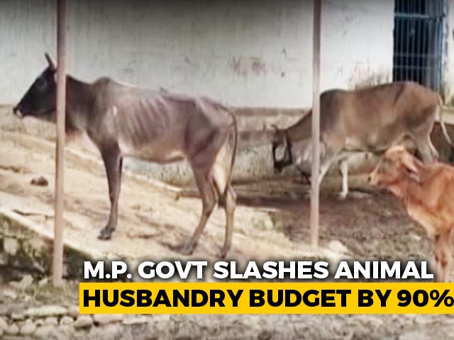 Video : Madhya Pradesh Allocates Rs. 1.6 Daily For 1 Lakh Cows In State Shelters