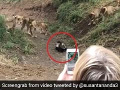 These Small Animals Took On A Pride Of Lions - And Won. Watch Crazy Video