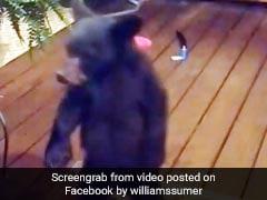 घर के दरवाज़े पर आकर भालू का बच्चा करने लगा मस्ती, मां ने गुस्से में उठाया और फिर - देखें Video