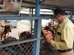 Madhya Pradesh Allocates Rs 1.6 Daily For 1 Lakh Cows In State Shelters