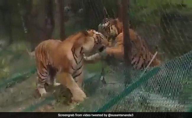 जंगल में भिड़ गए दो बाघ, एक ने उछलकर किया Attack, तो दूसरे ने किया ऐसा - देखें Viral Video