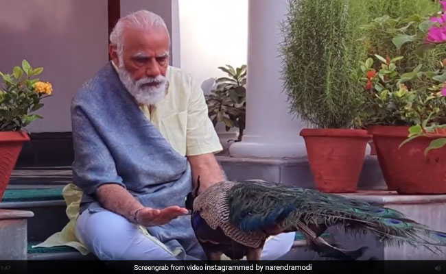 Watch: PM Modi Shares Video Of His Bond With Peacocks At His Residence