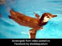 Baby Penguin ने पहली बार पानी में उतर अजीबोगरीब तरह से की स्विमिंग, देखें Viral Video