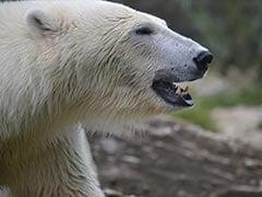 Polar Bear Kills Man In Norway's Arctic Svalbard Archipelago