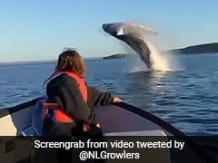"""Whale Jumps Out Of Water, Twirls In The Air In """"Mind-Blowing"""" Video"""