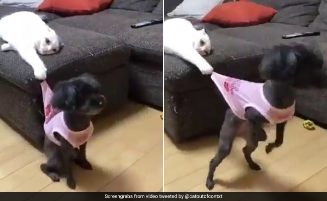 A Mean Cat Trolls A Dog In The Funniest Video You Will See Today