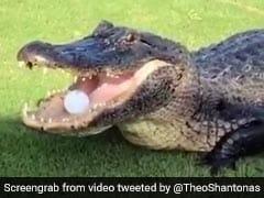 Giant Alligator Filmed Stealing A Golf Ball In Viral Video