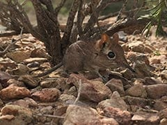 Long 'Lost' Elephant Shrew Rediscovered In Africa After 50 Years