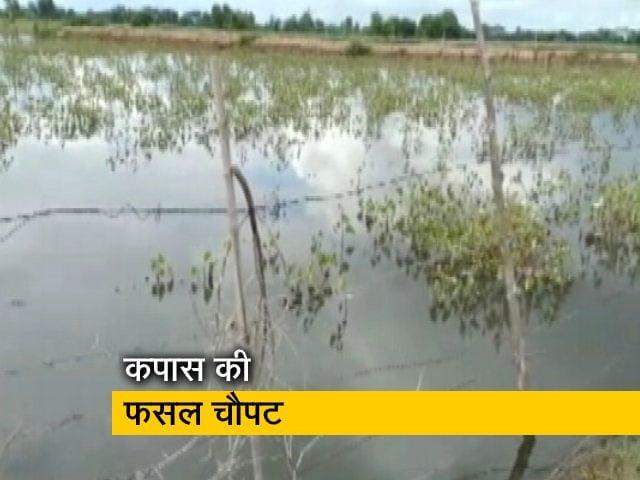 Videos : देश प्रदेश:  कपास की खड़ी फसल चौपट, किसान का कर्ज आखिर कब उतरेगा?