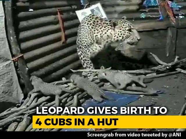 Video : Video: Leopardess Gives Birth To 4 Cubs Inside Hut In Maharashtra