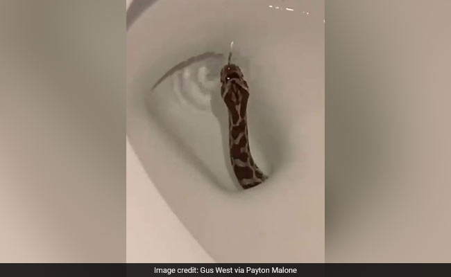 Viral Video Shows Snake Emerging From Toilet, Twitter Horrified
