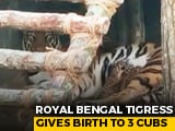 Video: Viral: Royal Bengal Tigress Gives Birth To Three Cubs | NDTV Beeps