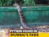 Video : 8 To 10-Foot Python Spotted In Mumbai's Maharashtra Nature Park | NDTV Beeps