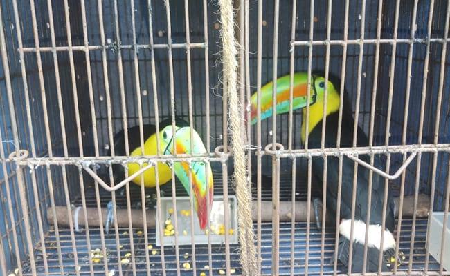 भारत- बांग्लादेश सीमा से BSF ने अमेरिकी मूल के दुर्लभ प्रजाति के दो टूकान पक्षी को किया बरामद