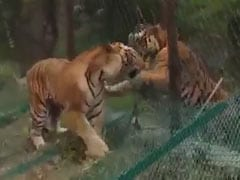 Watch: A Fight Between A Wild Tiger And A Safari Tiger In Karnataka