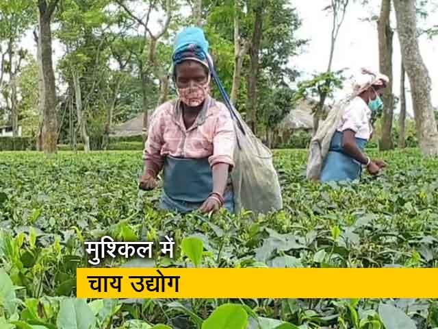 Video : असम : बारिश-बाढ़ और लॉकडाउन से चाय की आधी फसल चौपट