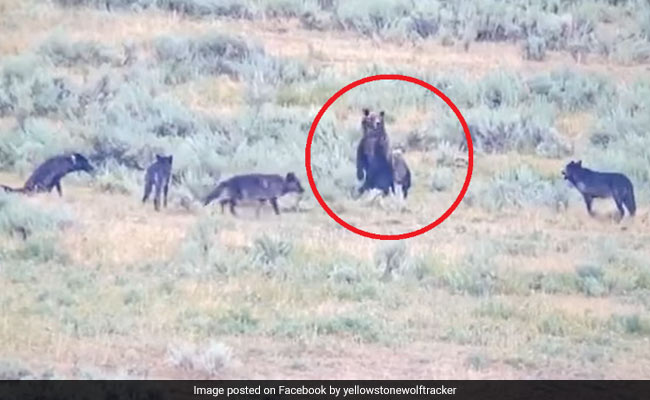 A Pack Of Wolves vs A Mother Bear: Watch Who Came Out On Top
