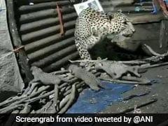 झुग्गी के अंदर तेंदुए ने दिया 4 बच्चों को जन्म, लोगों को बच्चों के पास नहीं आने दे रही मां - देखें Video