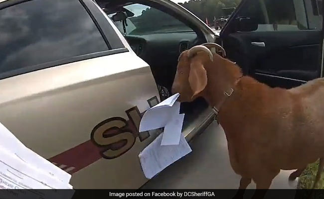 Goat Breaks Into Police Car, Eats Paperwork. Video Has Viewers In Splits