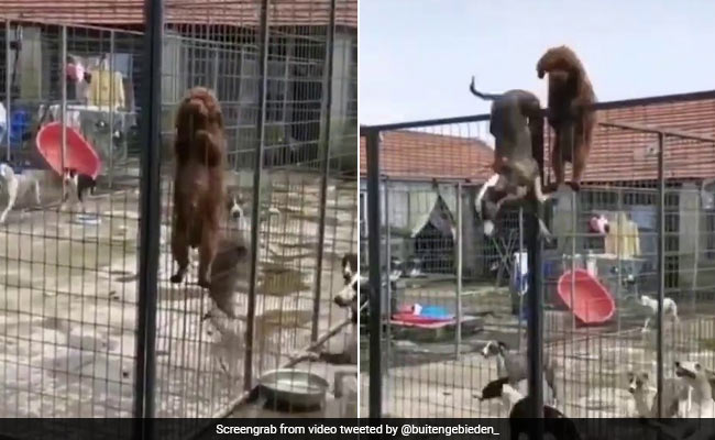 The dog pulled out such a juga to run away, climbed the cage and escaped like this… See Video