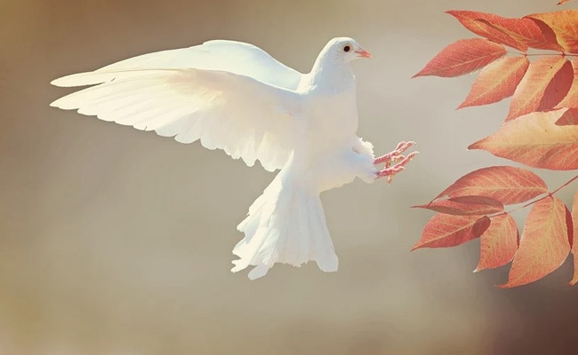 International Day Of Peace 2020: Know Why Dove Is A Symbol Of Peace