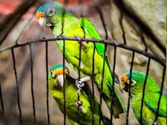 Two Arrested With 55 Parrots In West Bengal's Siliguri