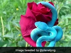Viral Video: This Blue Snake Is As Dangerous As It Is Beautiful