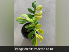 Why This Plant With Only 4 Leaves Just Sold For Rs 4 Lakh