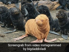 """Rare Albino Seal Spotted In Russia. It Has Been Nicknamed """"Ugly Duckling"""""""
