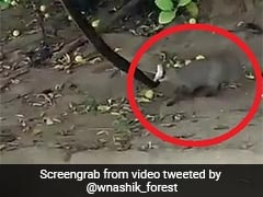 Video: Mongoose Jumps Up To Catch Snake Resting On A Branch. Then...