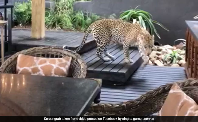Viral Video Shows Leopard Casually Strolling Through Restaurant