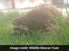 "In Gujarat, ""Rare"" Hedgehog Found In Residential Area"