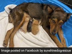 Mother Dog Adopts Kittens After Losing Her Own Puppies