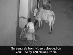 Video: As Bull Attacks Haryana Woman, Her Little Grandson's Stunning Act