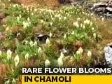 Video: Watch Rare Brahma Kamal Flower Bloom In Uttarakhand's Snow-Clad Chamoli