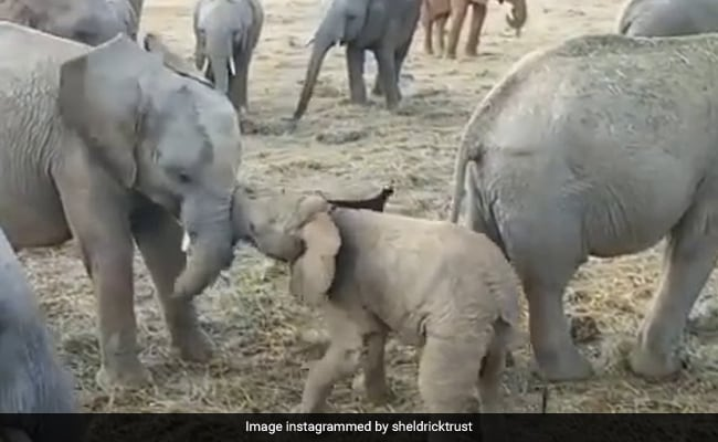 'Little Menace': 2-Month-Old Elephant Tries To Fight Older Ones In LOL Video