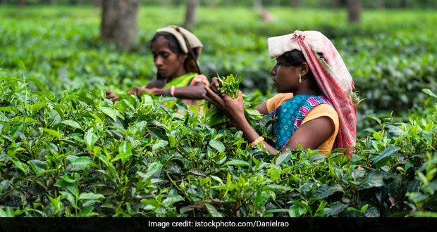 Special Variety Of Assam Tea Auctioned At A Record Price Of Rs. 75,000