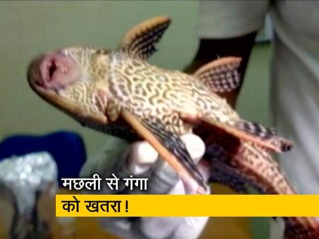 Videos : गंगा नदी में अमेजन की मछली मिलने से बढ़ी चिंता